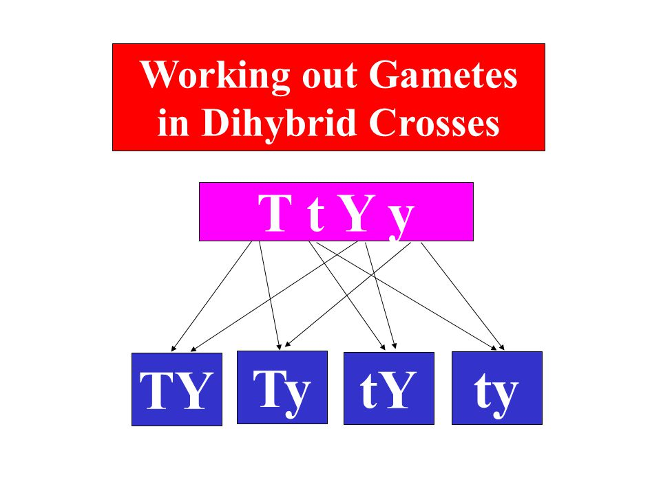 Working out Gametes in Dihybrid Crosses T t Y y TY Ty tY ty