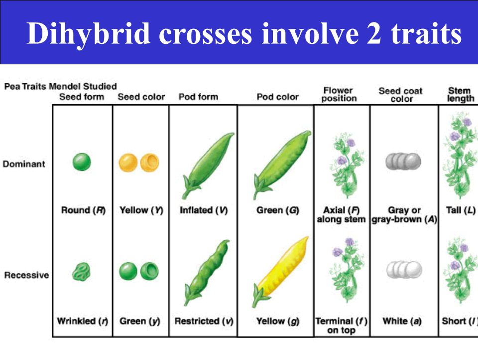 Dihybrid crosses involve 2 traits