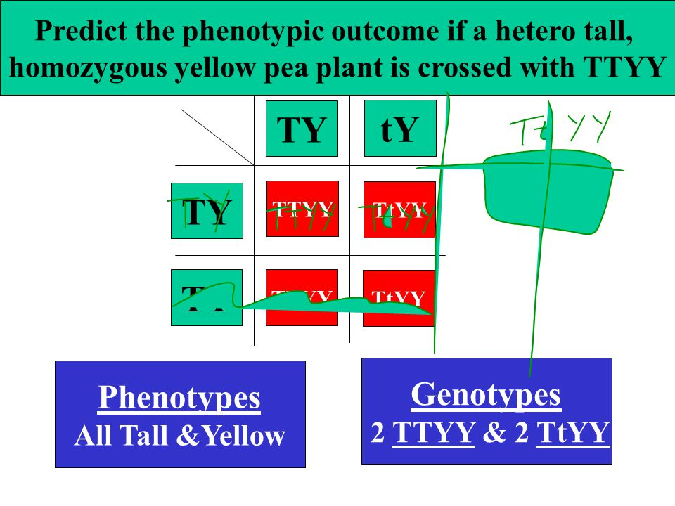 Predict the phenotypic outcome if a hetero tall, homozygous yellow pea plant is crossed with TTYY Phenotypes All Tall &Yellow Genotypes 2 TTYY & 2 TtYY TY tY TY TTYY TtYY TTYY TtYY