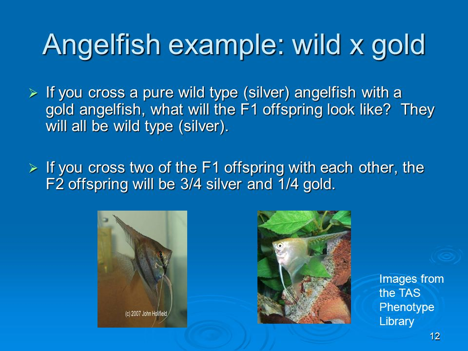 12 Angelfish example: wild x gold  If you cross a pure wild type (silver) angelfish with a gold angelfish, what will the F1 offspring look like.