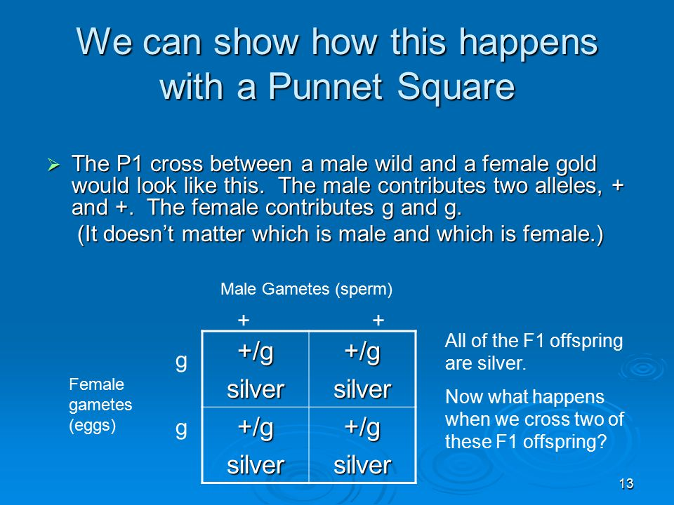 13 We can show how this happens with a Punnet Square +/gsilver+/gsilver +/gsilver+/gsilver  The P1 cross between a male wild and a female gold would look like this.
