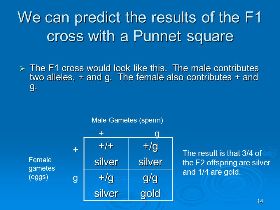 14 We can predict the results of the F1 cross with a Punnet square +/+silver+/gsilver +/gsilverg/ggold  The F1 cross would look like this.