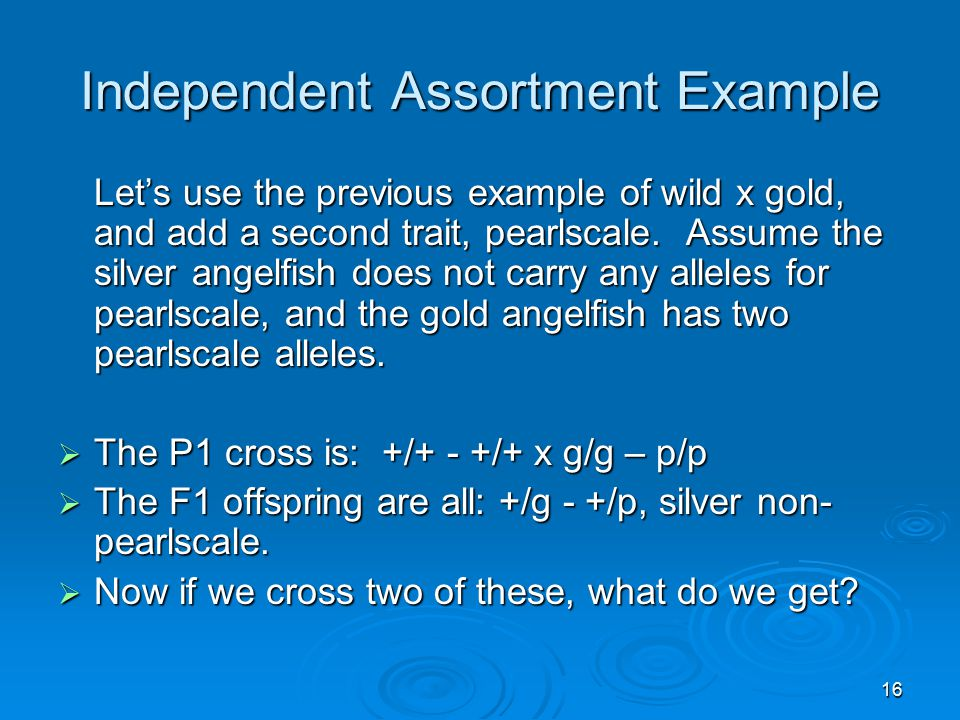 16 Independent Assortment Example Let's use the previous example of wild x gold, and add a second trait, pearlscale. Assume the silver angelfish does