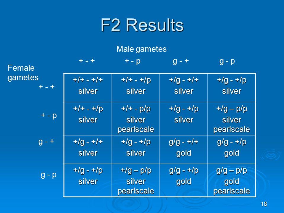 18 F2 Results +/+ - +/+ silver +/+ - +/p silver +/g - +/+ silver +/g - +/p silver +/+ - +/p silver +/+ - p/p silver pearlscale +/g - +/p silver +/g – p/p silver pearlscale +/g - +/+ silver +/g - +/p silver g/g - +/+ gold g/g - +/p gold +/g - +/p silver +/g – p/p silver pearlscale g/g - +/p gold g/g – p/p gold pearlscale + - + + - p g - + g - p + - + g - + + - p g - p Male gametes Female gametes