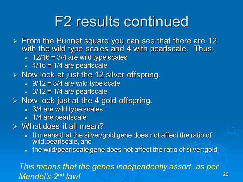 20 F2 results continued  From the Punnet square you can see that there are 12 with the wild type scales and 4 with pearlscale. Thus: 12/16 = 3/4 are