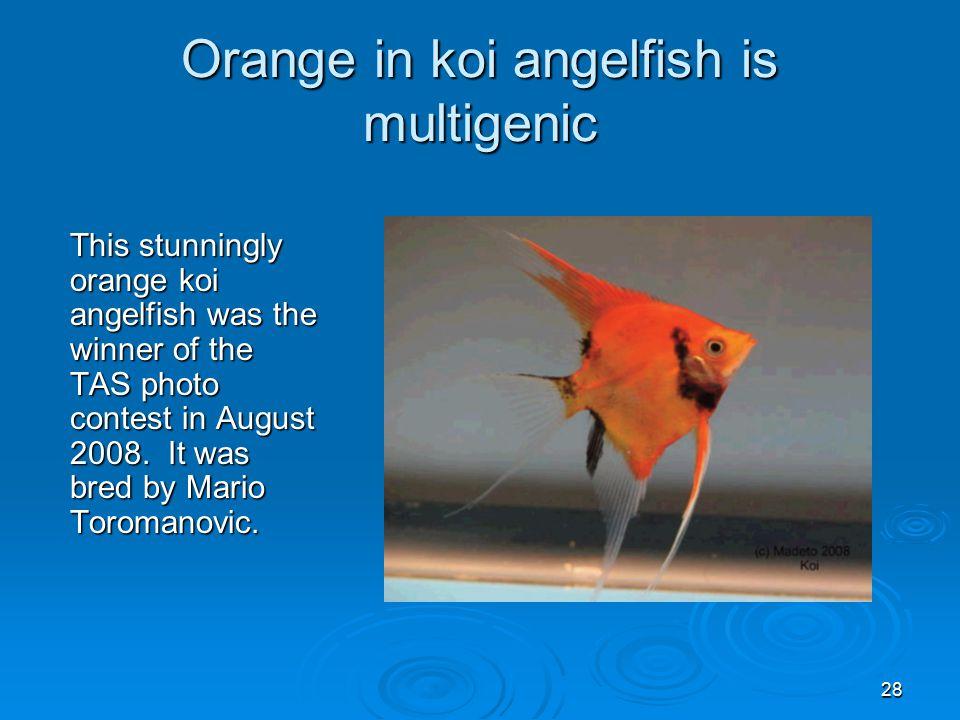 28 Orange in koi angelfish is multigenic This stunningly orange koi angelfish was the winner of the TAS photo contest in August 2008.