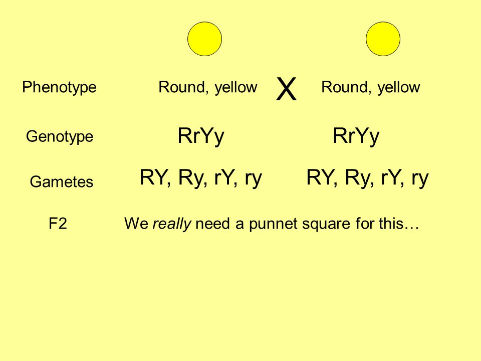 PhenotypeRound, yellow Genotype RrYy Gametes RY, Ry, rY, ry F2We really need a punnet square for this… X Round, yellow RrYy RY, Ry, rY, ry