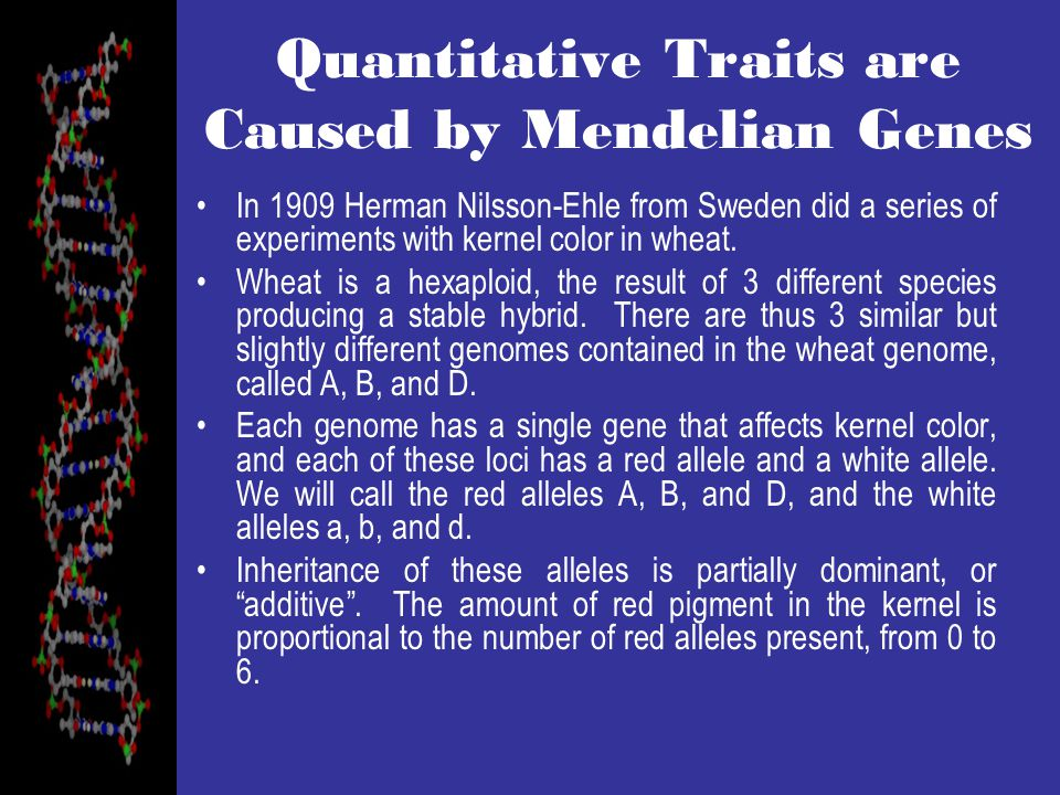 Quantitative Traits are Caused by Mendelian Genes In 1909 Herman Nilsson-Ehle from Sweden did a series of experiments with kernel color in wheat.