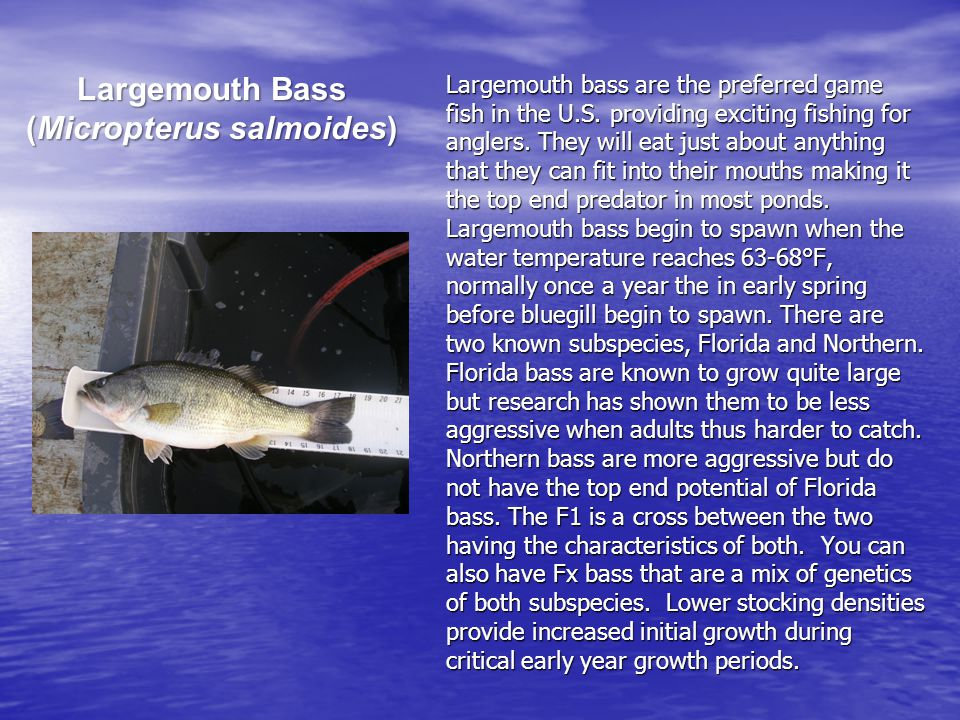 Largemouth bass are the preferred game fish in the U.S.