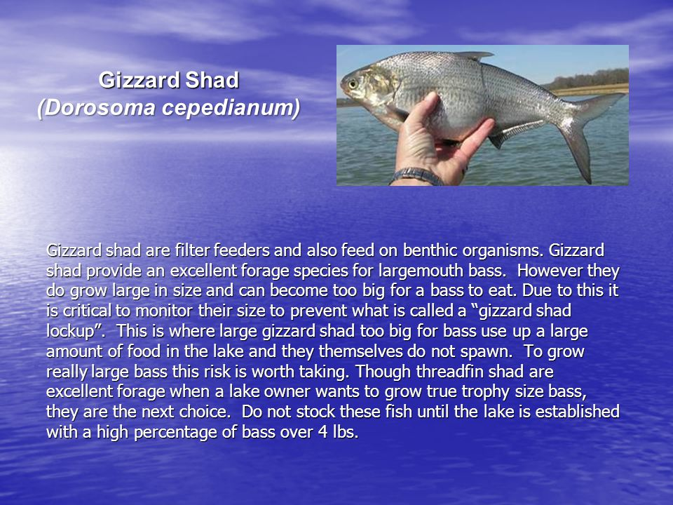 Gizzard Shad (Dorosoma cepedianum) Gizzard shad are filter feeders and also feed on benthic organisms.