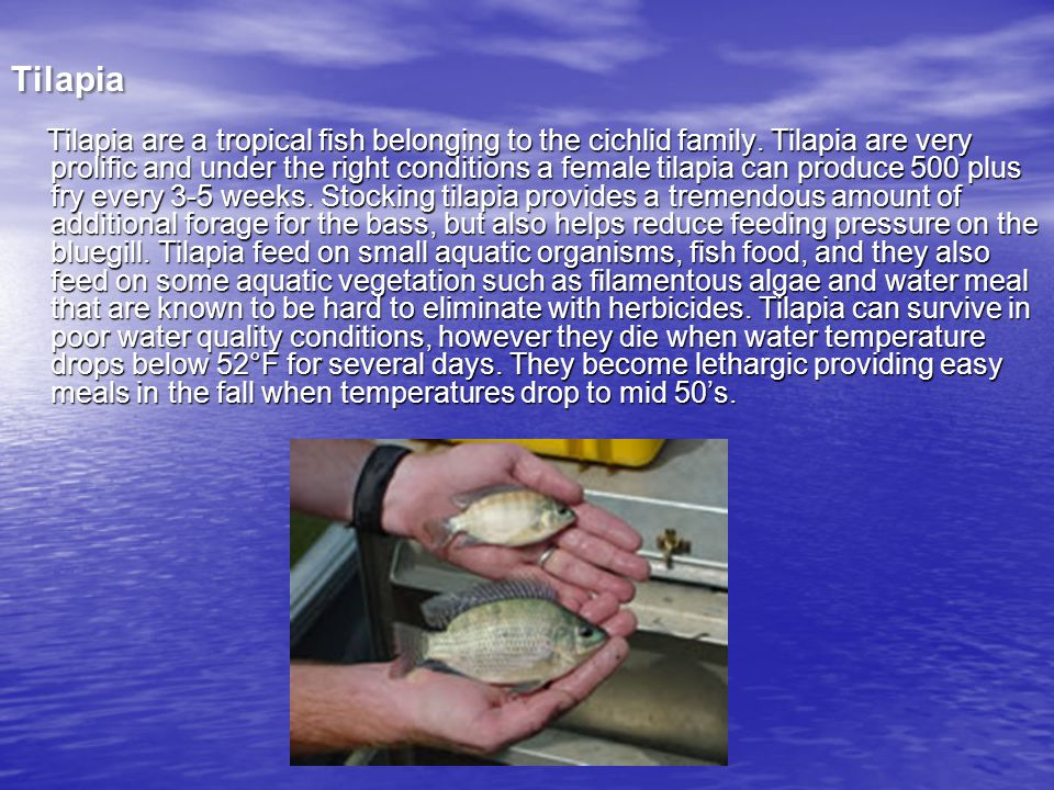 Tilapia T ilapia are a tropical fish belonging to the cichlid family.