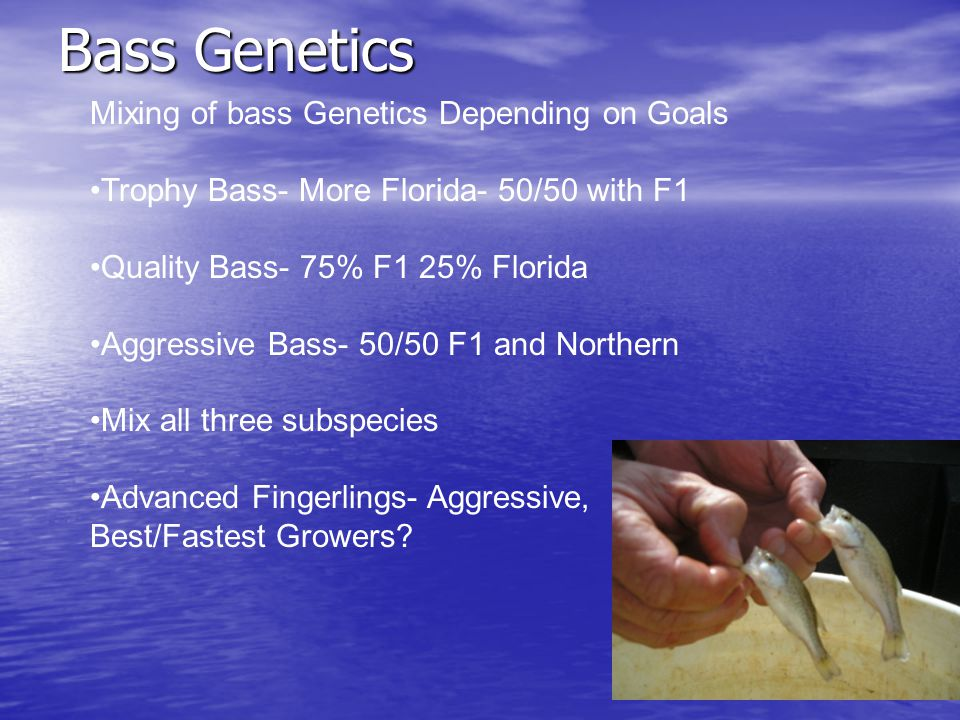 Bass Genetics Mixing of bass Genetics Depending on Goals Trophy Bass- More Florida- 50/50 with F1 Quality Bass- 75% F1 25% Florida Aggressive Bass- 50/50 F1 and Northern Mix all three subspecies Advanced Fingerlings- Aggressive, Best/Fastest Growers