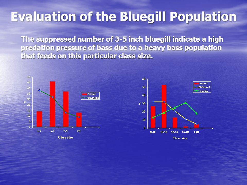 Evaluation of the Bluegill Population The suppressed number of 3-5 inch bluegill indicate a high predation pressure of bass due to a heavy bass population that feeds on this particular class size.