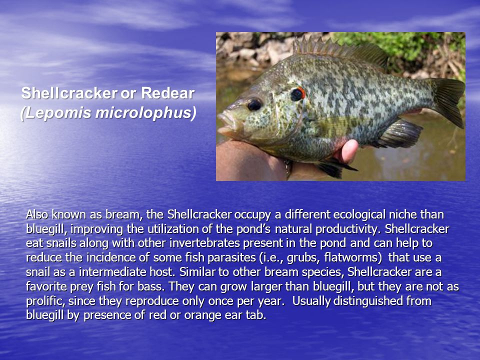 Fathead Minnows (Pimephales promelas) Fathead minnows are typical stocked only in new lakes at the same time the bluegill and redear sunfish are stocked.