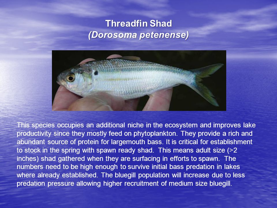 This species occupies an additional niche in the ecosystem and improves lake productivity since they mostly feed on phytoplankton.