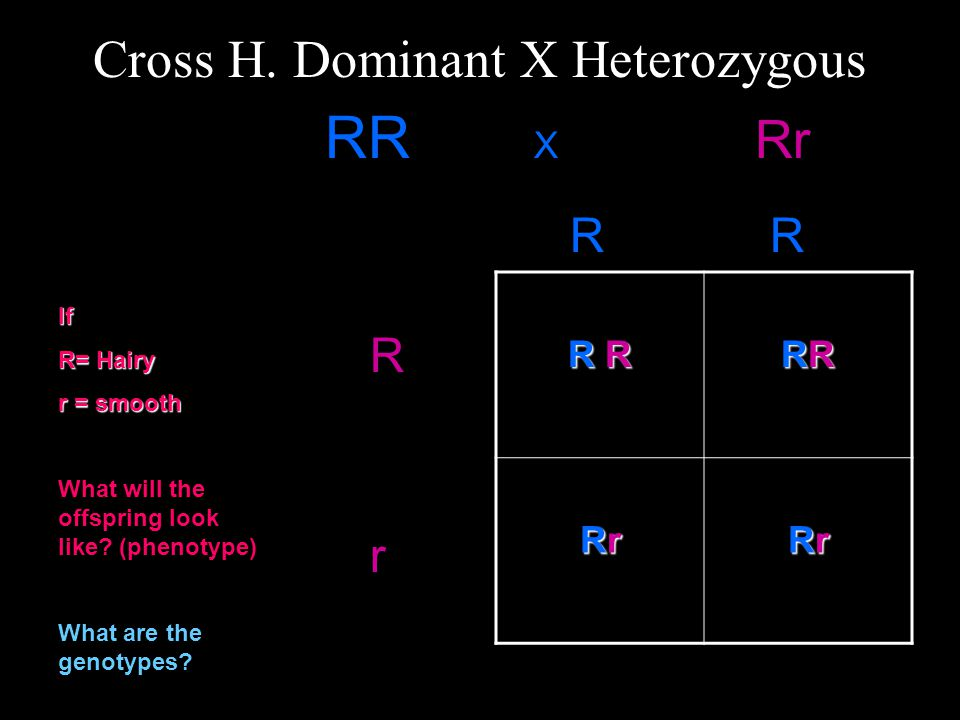 Cross H. Dominant X Heterozygous RR X Rr R RR RR RR R RRRRRRRR RrRrRrRr RrRrRrRr R R R r If R= Hairy r = smooth What will the offspring look like? (ph