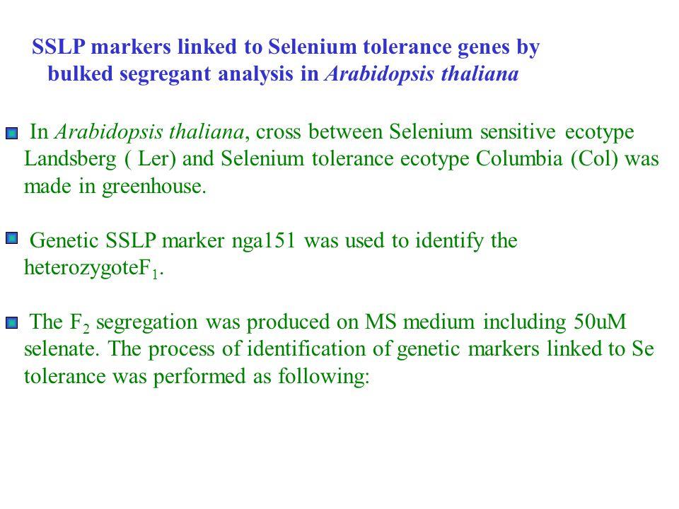 Step1: Parents ♀ Ler X Col ♂ LerCol Selenate (50uM) Step2: F1Heterozygote Test WSCol Ler WS x Col WS x Col Ler x Col 150 120 bp 102