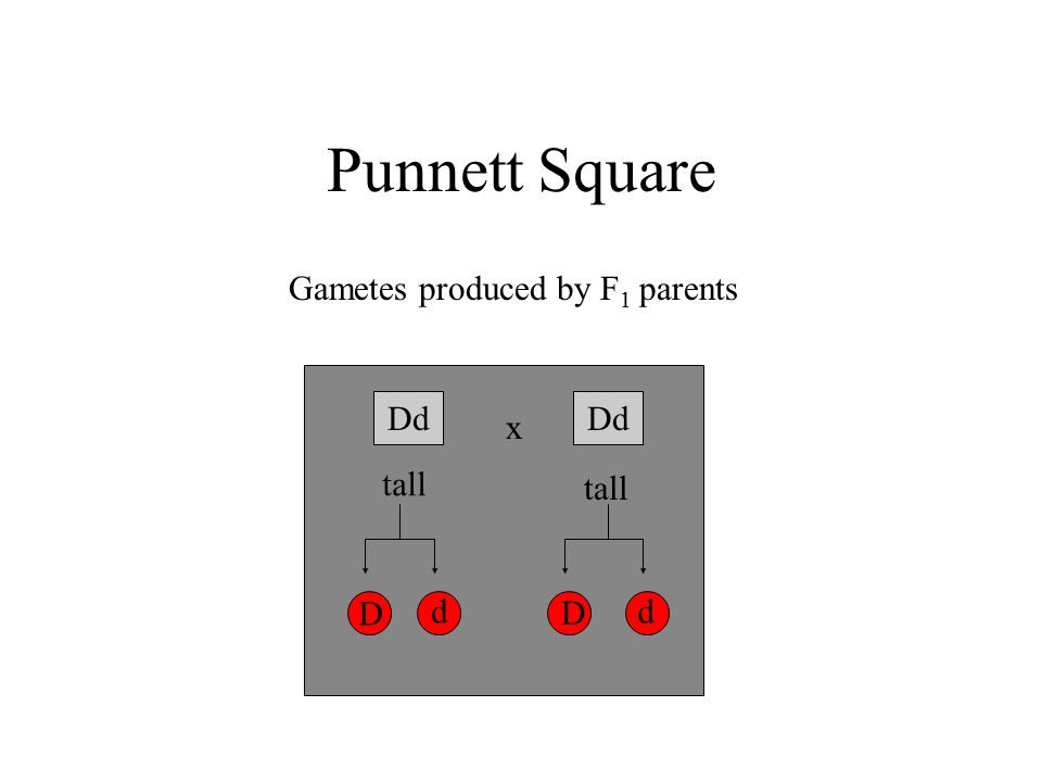Punnett Square Dd x tall Gametes produced by F 1 parents D D dd