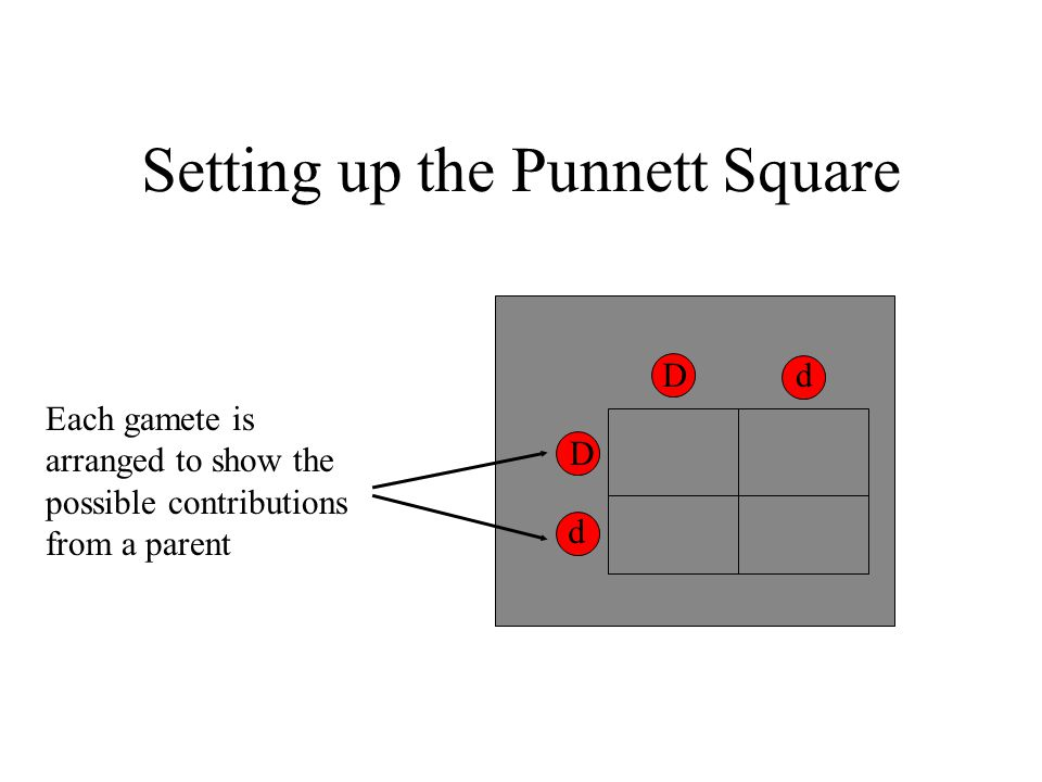 Setting up the Punnett Square Dd D d Each gamete is arranged to show the possible contributions from a parent