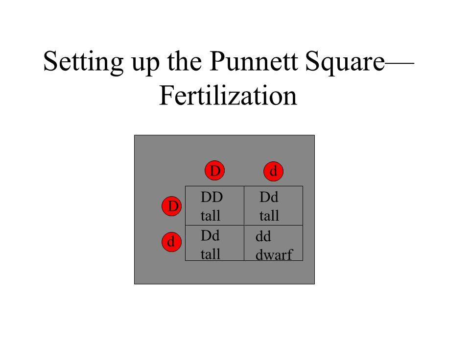 Setting up the Punnett Square— Fertilization Dd D d DD tall Dd tall Dd tall dd dwarf