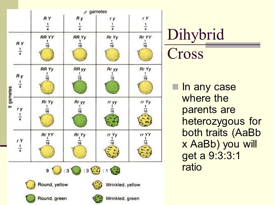 Dihybrid Cross In any case where the parents are heterozygous for both traits (AaBb x AaBb) you will get a 9:3:3:1 ratio