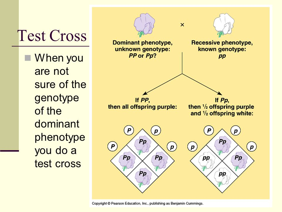 Test Cross When you are not sure of the genotype of the dominant phenotype you do a test cross
