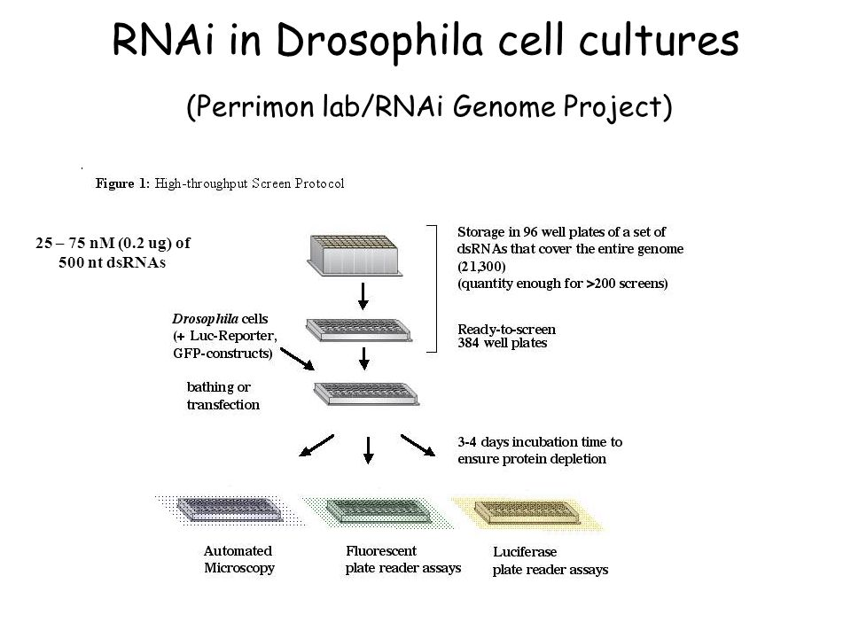 RNAi in Drosophila cell cultures (Perrimon lab/RNAi Genome Project) 25 – 75 nM (0.2 ug) of 500 nt dsRNAs