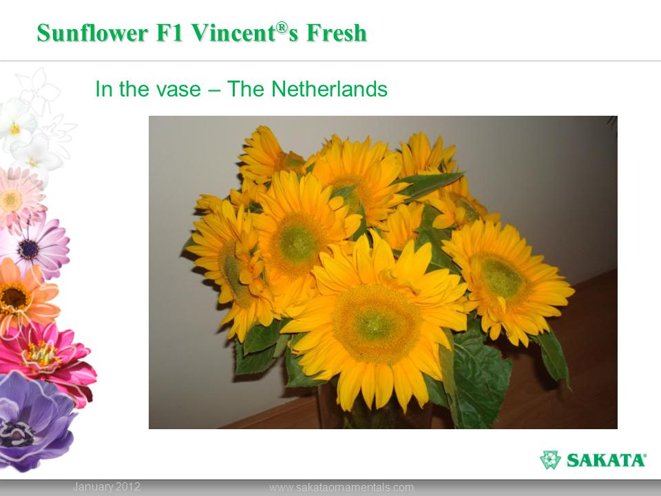 Sunflower F1 Vincent ® s Fresh January 2012 www.sakataornamentals.com In the vase – The Netherlands