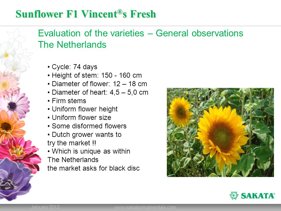 Sunflower F1 Vincent ® s Fresh January 2012 www.sakataornamentals.com Evaluation of the varieties – General observations The Netherlands Cycle: 74 days Height of stem: 150 - 160 cm Diameter of flower: 12 – 18 cm Diameter of heart: 4,5 – 5,0 cm Firm stems Uniform flower height Uniform flower size Some disformed flowers Dutch grower wants to try the market !.