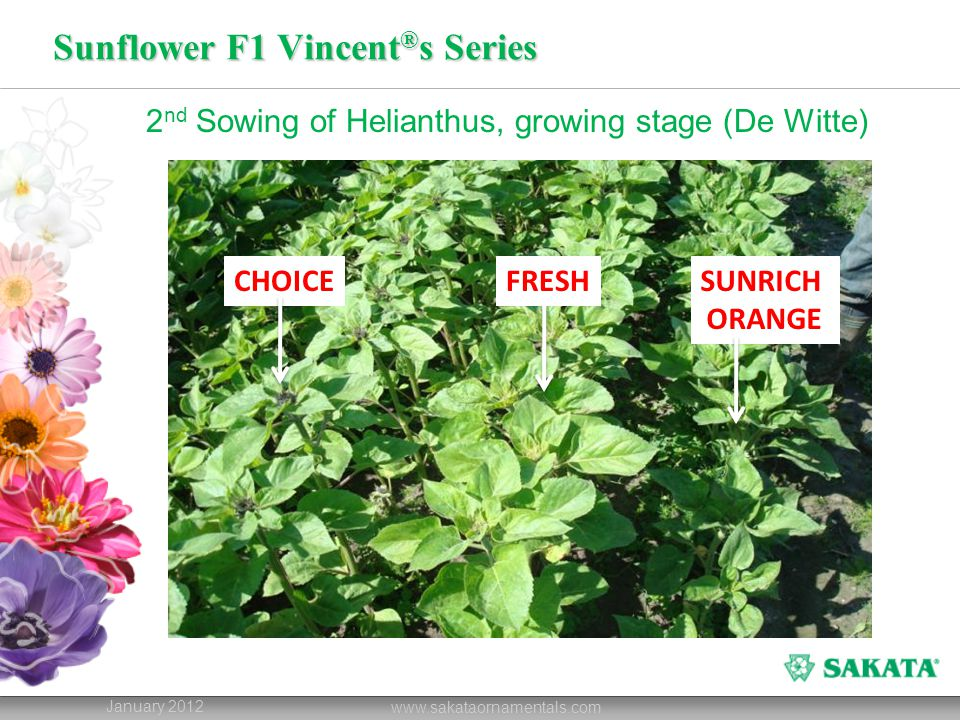 Sunflower F1 Vincent ® s Series January 2012 www.sakataornamentals.com 2 nd Sowing of Helianthus, growing stage (De Witte) CHOICEFRESHSUNRICH ORANGE