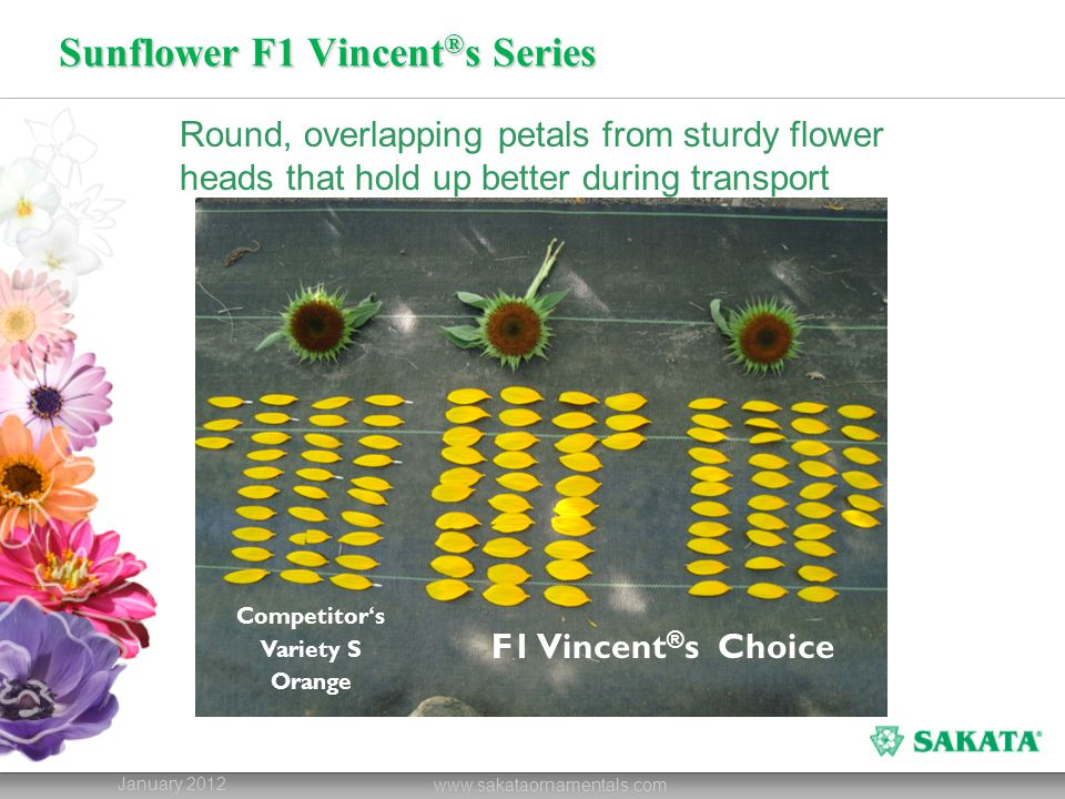 Sunflower F1 Vincent ® s Series January 2012 www.sakataornamentals.com Round, overlapping petals from sturdy flower heads that hold up better during transport Competitor ' s Variety S Orange F1 Vincent ® s Choice