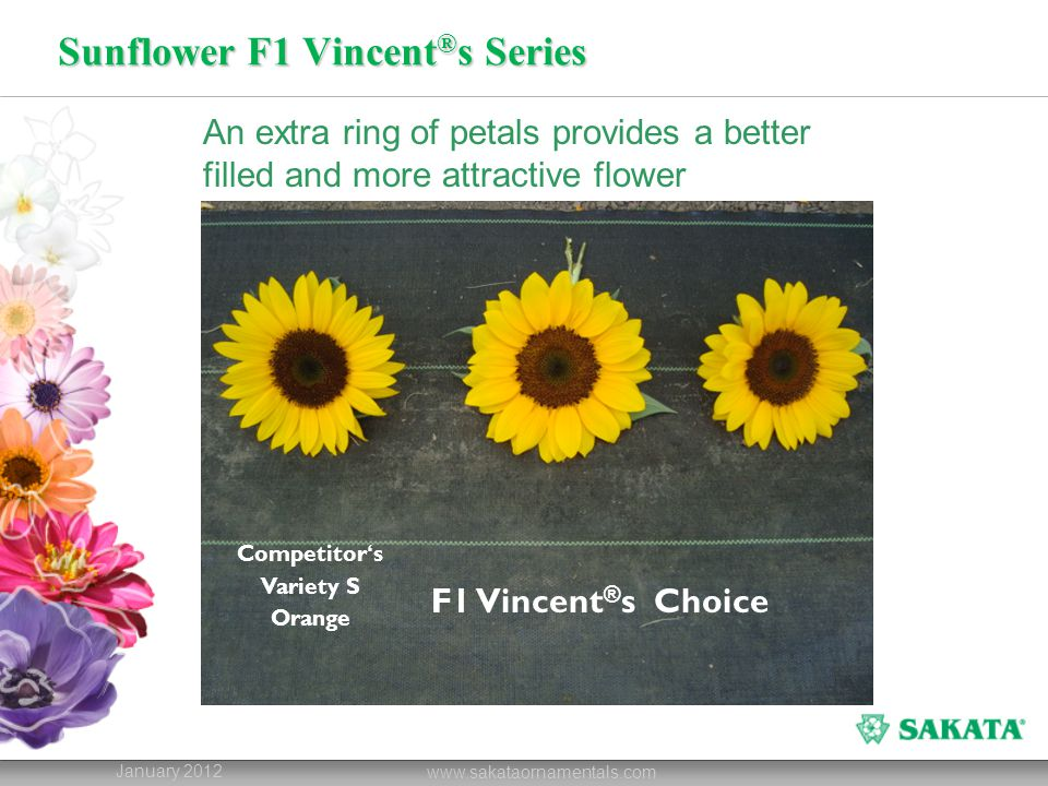 Sunflower F1 Vincent ® s Series January 2012 www.sakataornamentals.com An extra ring of petals provides a better filled and more attractive flower Com