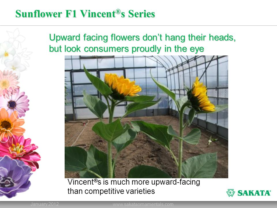 Sunflower F1 Vincent ® s Series January 2012 www.sakataornamentals.com Upward facing flowers don't hang their heads, but look consumers proudly in the eye ® Vincent ® s is much more upward-facing than competitive varieties