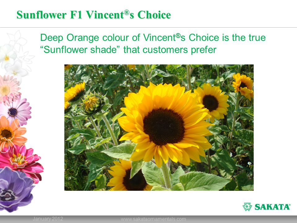 """Sunflower F1 Vincent ® s Choice January 2012 www.sakataornamentals.com ® Deep Orange colour of Vincent ® s Choice is the true """"Sunflower shade"""" that c"""