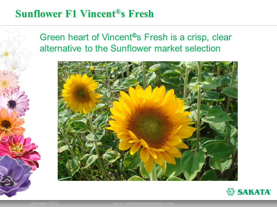 Sunflower F1 Vincent ® s Fresh January 2012 www.sakataornamentals.com ® Green heart of Vincent ® s Fresh is a crisp, clear alternative to the Sunflower market selection