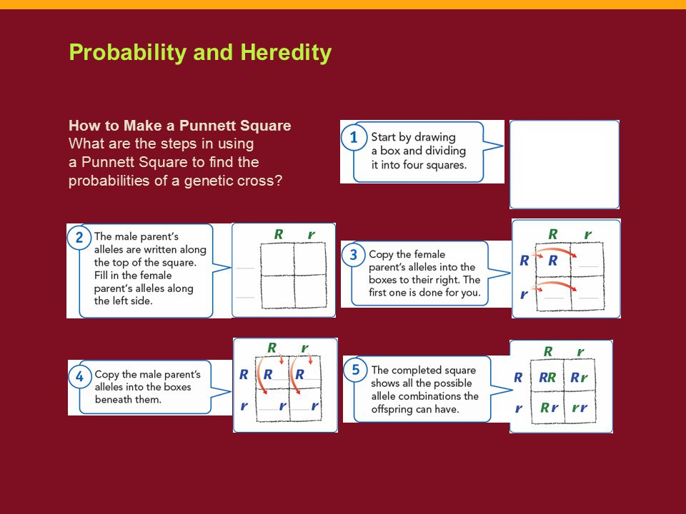 How to Make a Punnett Square What are the steps in using a Punnett Square to find the probabilities of a genetic cross? Probability and Heredity