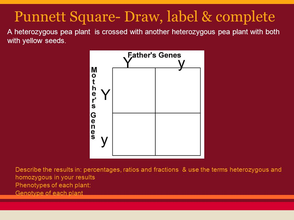 Punnett Square- Draw, label & complete Y y Y y Describe the results in: percentages, ratios and fractions & use the terms heterozygous and homozygous