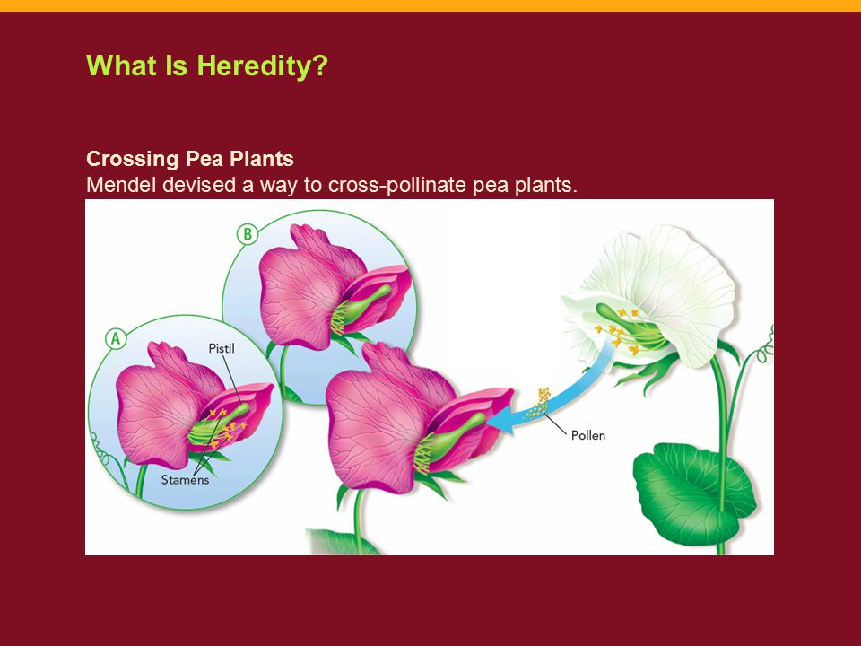 Common traits Mendel identified in Pea Plants: seed shape- round vs.