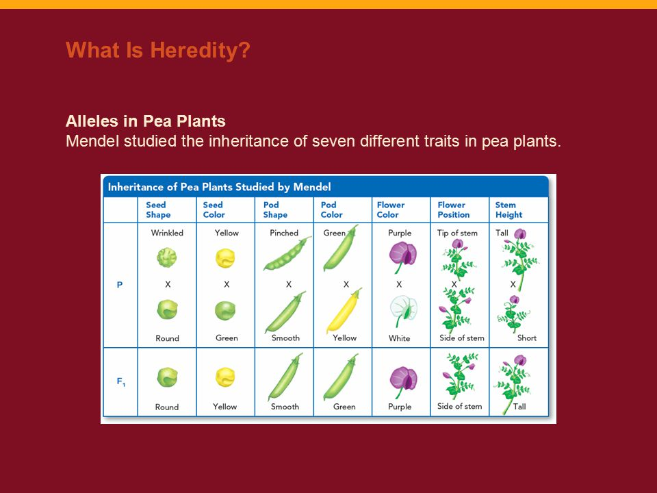 Alleles in Pea Plants Mendel studied the inheritance of seven different traits in pea plants. What Is Heredity?