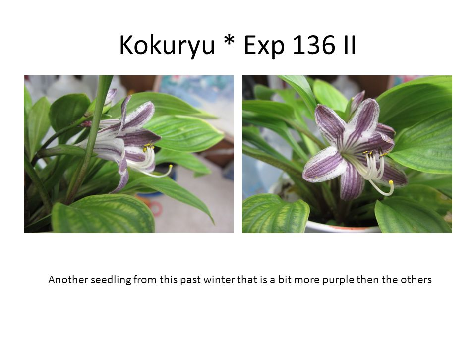 Kokuryu * Exp 136 II Another seedling from this past winter that is a bit more purple then the others