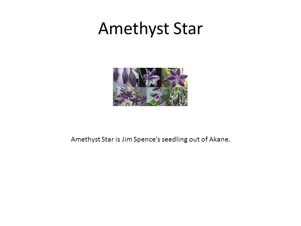 Amethyst Star Amethyst Star is Jim Spence's seedling out of Akane.