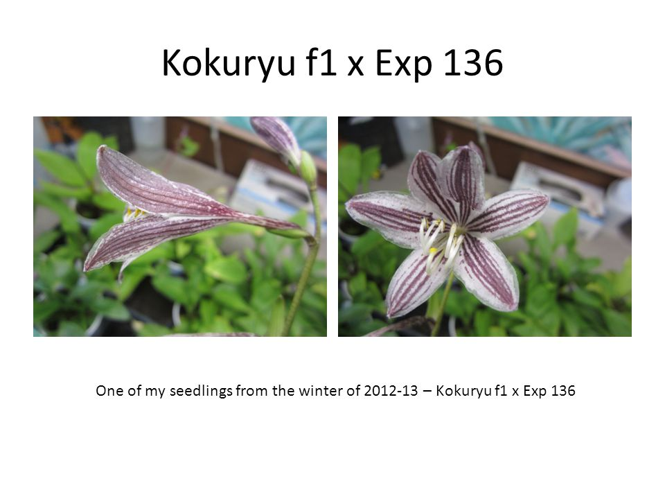 Kokuryu f1 x Exp 136 One of my seedlings from the winter of 2012-13 – Kokuryu f1 x Exp 136