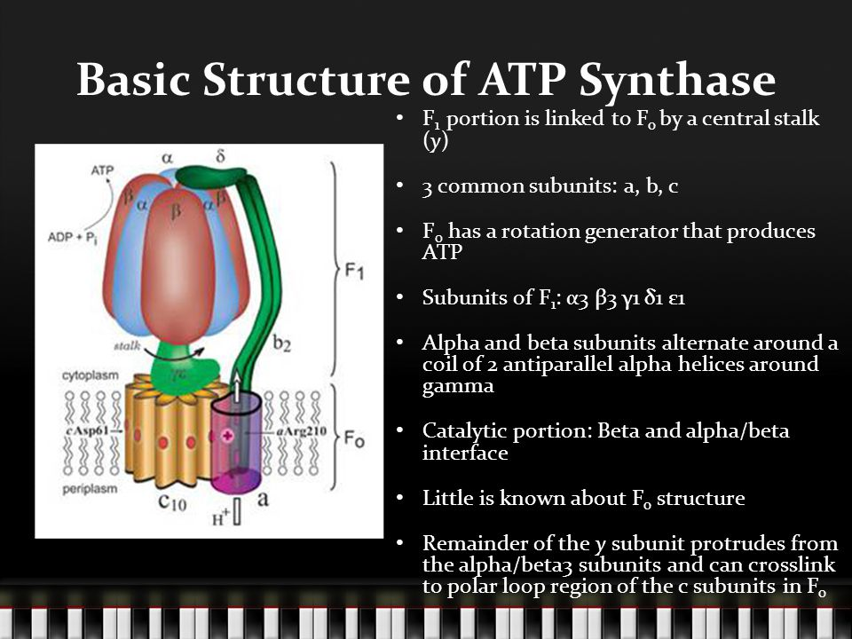 Basic Structure of ATP Synthase F 1 portion is linked to F o by a central stalk (y) 3 common subunits: a, b, c F 0 has a rotation generator that produces ATP Subunits of F 1 : α3 β3 γ1 δ1 ε1 Alpha and beta subunits alternate around a coil of 2 antiparallel alpha helices around gamma Catalytic portion: Beta and alpha/beta interface Little is known about F o structure Remainder of the y subunit protrudes from the alpha/beta3 subunits and can crosslink to polar loop region of the c subunits in F o