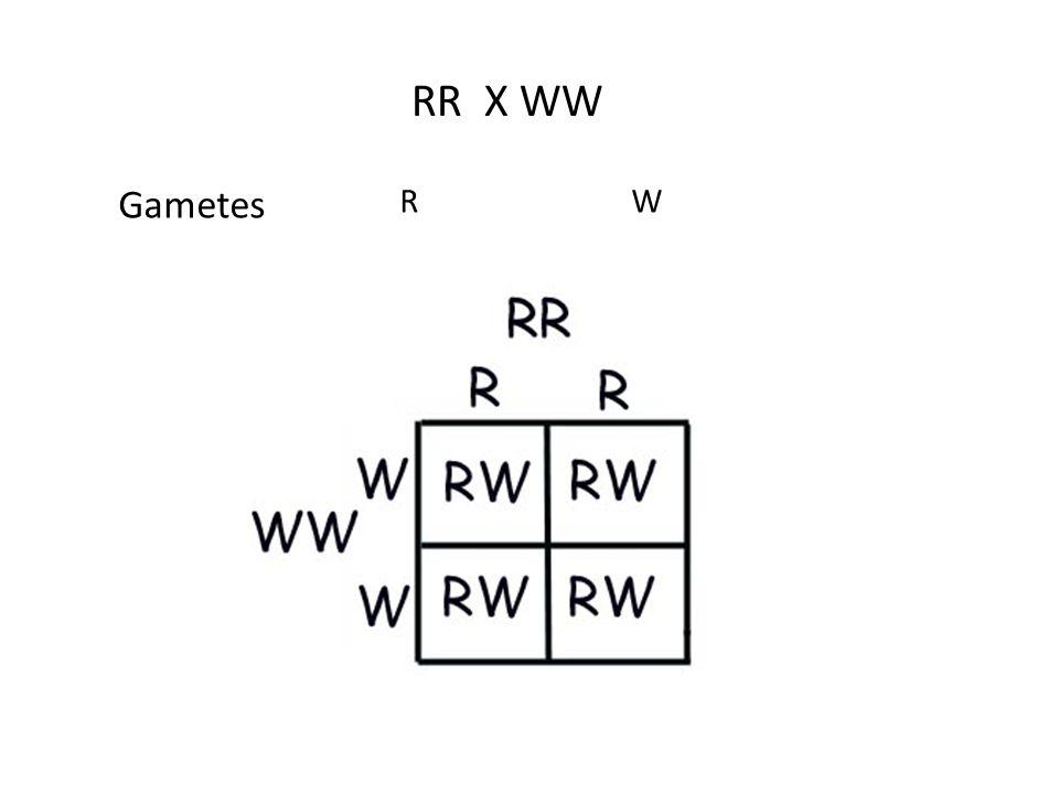 RR X WW RW Gametes