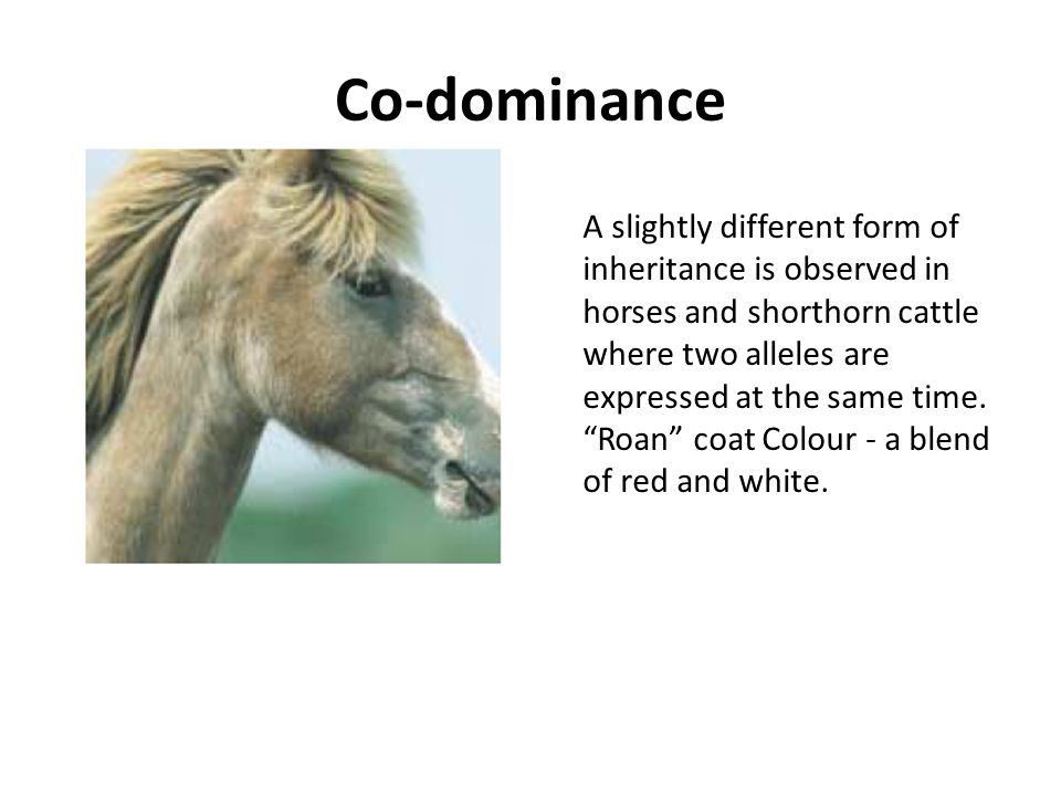 A slightly different form of inheritance is observed in horses and shorthorn cattle where two alleles are expressed at the same time.