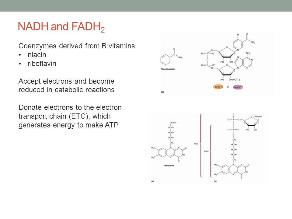 NADH and FADH 2 Coenzymes derived from B vitamins niacin riboflavin Accept electrons and become reduced in catabolic reactions Donate electrons to the