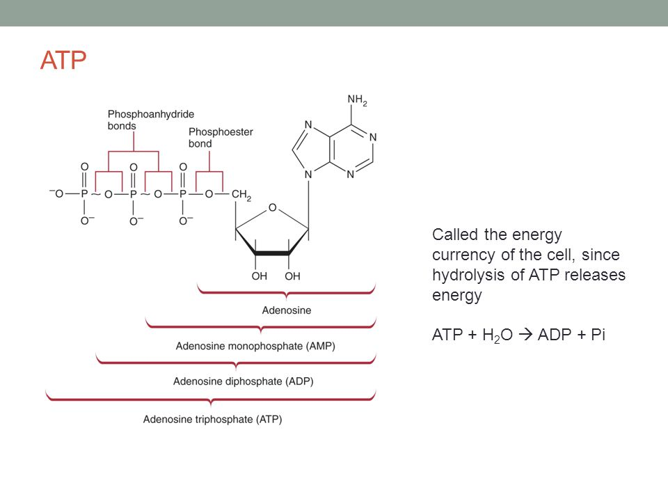 ATP Called the energy currency of the cell, since hydrolysis of ATP releases energy ATP + H 2 O  ADP + Pi