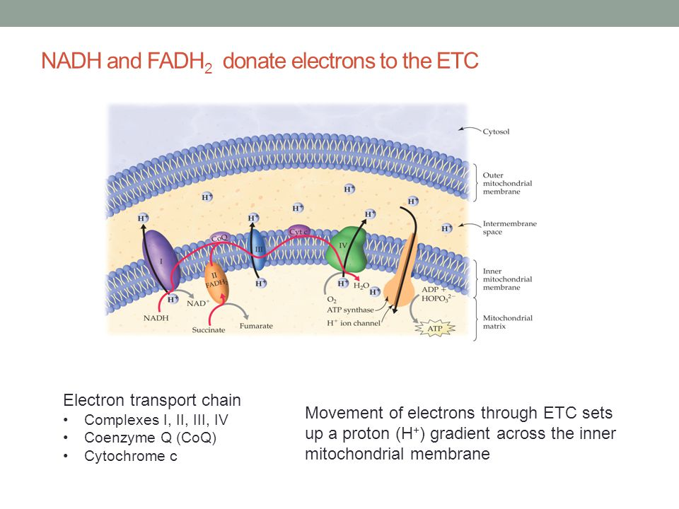 NADH and FADH 2 donate electrons to the ETC Electron transport chain Complexes I, II, III, IV Coenzyme Q (CoQ) Cytochrome c Movement of electrons thro