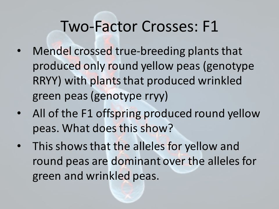 Two-Factor Crosses: F1 Mendel crossed true-breeding plants that produced only round yellow peas (genotype RRYY) with plants that produced wrinkled green peas (genotype rryy) All of the F1 offspring produced round yellow peas.