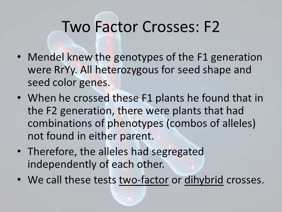 Two Factor Crosses: F2 Mendel knew the genotypes of the F1 generation were RrYy. All heterozygous for seed shape and seed color genes. When he crossed